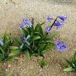 壇の大楠の近くの旧家の外庭にヒヤシンスが芽を出していました。    ・長塀の旧家の庭のヒヤシンス(和良)