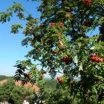 カルバニア・ゼブジドフスカに来る巡礼者は年間100万人を数えます。   ・ななかまど赤く民家の屋根赤く(和良)