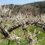 梅林の梅の枝はどれも手の届く高さに揃えられてありました。         ・手の届く高さに揃へられし梅(和良)