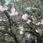 旧芝離宮恩賜公園では冬桜が咲いていました。満開でした。              ・咲き満ちてゐても侘しき冬桜(和良)