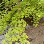 阿波市土成町の法輪寺で見た若楓です。いかにも涼しげでした。       ・若楓御手洗の水滾々と(和良)
