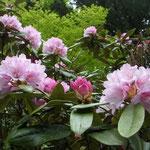 徳島県佐那河内村の徳円寺を50年ぶりに訪問。石南花を見てきました。  ・石南花や本堂朽ちてなけれども(和良)