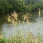 農業大学跡地の背山にある池の岸辺で見た花芒です。          ・花芒ダイヤのやうな雨滴置き(和良)