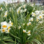 石井町で見つけた水仙です。川の土手に咲いていました。               ・水仙の群れ咲く土手の一処(和良)