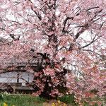 蜂須賀桜の母樹は今年は一段と大きく鮮やかに咲き満ちていました。・母樹と言ふ蜂須賀桜咲き満てる(和良)