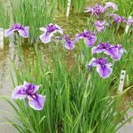 東御苑の菖蒲園は手入が行き届いていて水も清らかでした。       ・清らかな水や御苑の菖蒲園(和良)