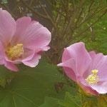 文化の森の裏庭に紅白の芙蓉の花が咲いていました。  ・紅白の芙蓉の花の咲ける庭(和良)