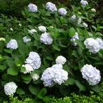 皇居東御苑で白い紫陽花を見ました。雨上がりに輝いて見えました。  ・その中に白い紫陽花ありにけり(和良)