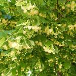 咲き満ちた菩提樹の花は甘い香りを街中に漂わせていました。      ・菩提樹の花の香りの満てる街(和良)