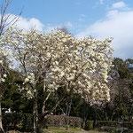 徳島城公園の白木蓮は花を散らせながらも咲き満ちていました。 ・遠目にも白木蓮の輝いて(和良)