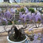 石井町の地福寺の藤まつりでは大鉢の藤が咲いていました。       ・大鉢の藤の先駆け満開に(和良)