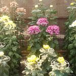 徳島市中央公園にある徳島城博物館の庭先で菊花展が始まりました。   ・一輪の咲き菊花展始まれる(和良)