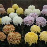 徳島城博物館の庭園で菊の展示会がありました。                    ・立ち菊の大輪なれば葉も厚く(和良)