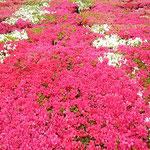 徳島市中央公園の躑躅は今を盛りに咲き競っていました。        ・燃え上がるやうな躑躅の咲きっぷり(和良)