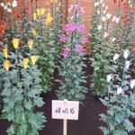 嵯峨菊は最も古い歴史を持つ古代菊です。雅趣があります。       ・嵯峨菊は閃光発す如く咲き(和良)