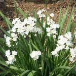 徳島城公園で見た水仙です。白い花が日差しに輝いて見えました。  ・水仙の向き揃へたる日差しかな (和良)