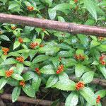 徳島市丈六寺の庭は閉ざされていましたが一面の実千両でした。  ・入れない庭一面の実千両(和良)