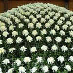 大作り花壇の白孔雀と名付けられた大菊は518輪の花を付けていました。  ・五百もの菊を同時に咲かす術(和良)