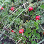 石狩砂丘ではハマナスの真っ赤な実が一面に散らばっていました。 ・地に満ちしはまなすの実の真っ赤かな(和良)