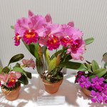 展示会で特に目を引いたのはカトレア蘭の明るい色彩でした。 ・室に咲くカトレア蘭の明るさよ(和良)