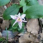 藤井寺の境内の小径で見つけた杜鵑草は崖に咲いていました。      ・へばりつくやうに咲きしも杜鵑草(和良)