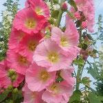 朝の日を受けた立葵の鮮やかな色彩は印象に残りました。  ・彩りの際立つ朝の立葵(和良)