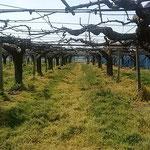 藍住町の梨の畑では剪定が終り、下草も刈られていました。 ・剪定の終り梨畑ひろびろと(和良)