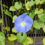 海野宿には風格のある格子戸の家が並んでいました。          ・格子戸になほ朝顔の咲き続く(和良)