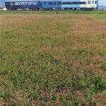 観光のトロッコ列車が藍の花咲く藍の里を通り過ぎていきました。 ・観光のトロッコ列車藍の花(和良)