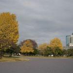 皇居外苑の銀杏黄葉です。松の緑によく映えていました。  ・東京は銀杏黄葉の似会ふ町(和良)
