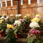 菊花展には近在の愛好家が育てた菊が整然と並んでいました。  ・育て来し自慢持ち寄り菊花展(和良)