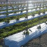 藍住町では夕方になっても茄子を植えている方に出会いました。 ・暮れゆけどもう一筋と茄子植ゑて(和良)