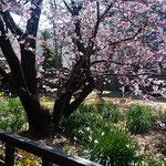 公開された武家屋敷から眺めた蜂須賀桜は満開でした。         ・武家屋敷から桜見る平和かな(和良)