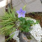 兵庫県淡路市の奇跡の星の植物館で一輪の桔梗を見ました。       ・一輪の桔梗のかくも凛として(和良)