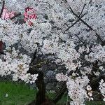 日本で一番早い満開の桜を見ようと高知城には大勢の人が来ていました。 ・日本一早く咲き満つ桜見る(和良)