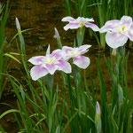 東御苑の菖蒲園では清楚な色の花菖蒲がたくさんありました。      ・清楚なる色や御苑の花菖蒲(和良)