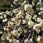 白梅の甘い香りに溺れるかのように虻が群がっていました。 ・梅の香におぼれて虻も私も(和良)