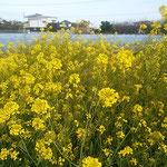 藍住町の東幼稚園の周辺の畑には菜の花が咲き競っていました。     ・菜の花の畑の中に幼稚園(和良)