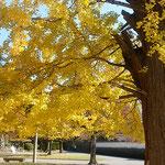 徳島市の徳島城公園の中央にある銀杏の大木の黄葉です。         ・晴天の銀杏黄葉の明るさよ(和良)