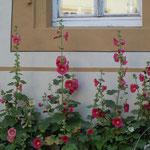 城壁に囲まれたローデンブルグの町にはいろいろな花が咲き競っていました。                  ・城壁の中に町あり立葵(和良)