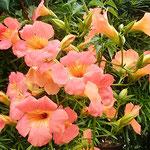 凌霄花は家の前の通りまで花を一杯散らせていました。  ・通りまでのうぜんの花こぼれ散り(和良)