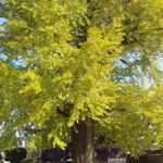 板野町の地蔵寺の樹齢800年の銀杏が色づいていました。   ・聳え立つ銀杏黄葉を仰ぎ見る(和良)