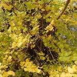 矢神の銀杏は高さ19メートル幹周10メートルあり、県の天然記念物です。 ・散り残る銀杏黄葉の明るさよ(和良)