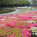 徳島城のあった徳島市中央公園では躑躅が群れ咲いていました。     ・火の帯のやうに躑躅の群れて咲く(和良)