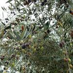 小豆島のオリーブ公園のオリーブにはたくさんの実がついていました。・完熟のオリーブの実の艶々と(和良)