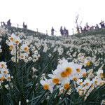 灘黒岩水仙郷の展望台を見上げると水仙の香りが下りてきました。    ・見上ぐれば水仙の香の下りて来る(和良)