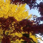 地蔵寺の五百羅漢堂の前庭では銀杏黄葉と楓の紅葉が見られました。 ・奥院は黄葉と紅葉綾なして(和良)