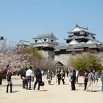 松山城の天守閣を眺めてお花見をしてきました。                     ・豊かなる十五万石伊予の春(和良)