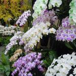 蘭の展示室は梅雨を吹き飛ばすような明るさがありました。                  ・蘭の園には木下闇なかりけり(和良)
