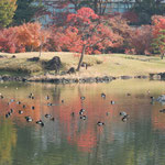旧芝離宮恩賜公園は都心にありますが鴨はのんびりとしていました。        ・都心にも静寂のあり鴨浮寝(和良)